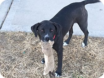 Labrador Retriever/Pit Bull Terrier Mix Dog for adoption in Kansas city, Missouri - Harley