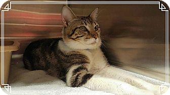 Domestic Shorthair Cat for adoption in Marietta, Georgia - ADVENTURE (R)