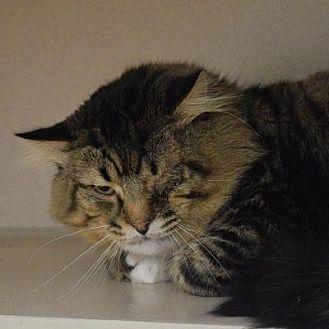 Domestic Longhair Cat for adoption in Denver, Colorado - Harley