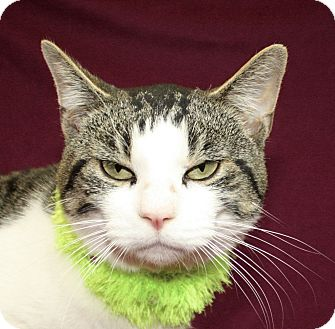 Domestic Shorthair Cat for adoption in Jackson, Michigan - Ryan