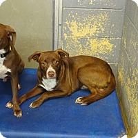 Cattle Dog/Labrador Retriever Mix Puppy for adoption in Delaware, Ohio - Tom