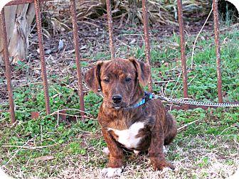 Dachshund/Terrier (Unknown Type, Medium) Mix Puppy for adoption in Newburgh, New York - KIXX