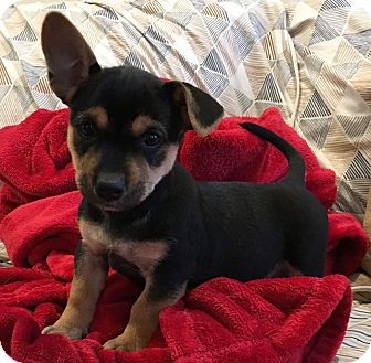 Corgi/Beagle Mix Puppy for adoption in Pennigton, New Jersey - Lani
