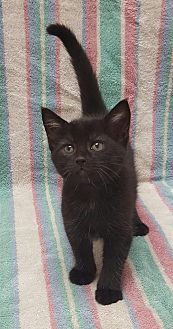 Domestic Shorthair Cat for adoption in Hollywood, Maryland - Annie