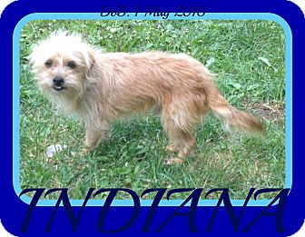 Border Terrier Mix Dog for adoption in Jersey City, New Jersey - INDIANA