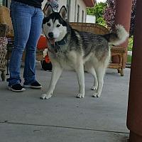 Adopt A Pet :: Tank - Stuart, VA
