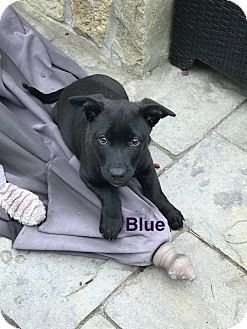Labrador Retriever/Terrier (Unknown Type, Small) Mix Puppy for adoption in cupertino, California - Bue
