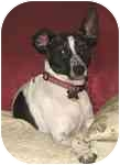 Rat Terrier Mix Dog for adoption in Allentown, Pennsylvania - Roscoe