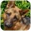 Photo 3 - German Shepherd Dog Dog for adoption in Los Angeles, California - Heinz von Herzig
