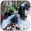 Photo 1 - Shih Tzu Dog for adoption in Los Angeles, California - PANDA