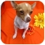 Photo 3 - Rat Terrier/Chihuahua Mix Dog for adoption in Irvine, California - Bree - 5 lbs
