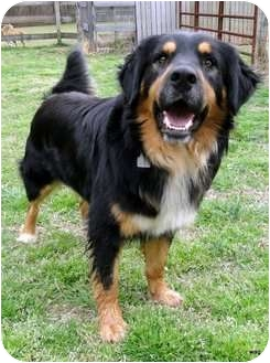 Bernese Mountain Dog/Collie Mix Dog for adoption in Zebulon, North Carolina - Travis - Sweet and Laid Back!