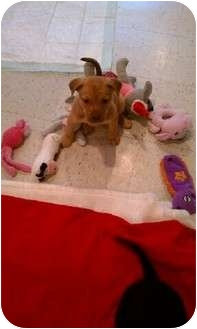 Labrador Retriever Puppy for adoption in Orland Park, Illinois - Willow