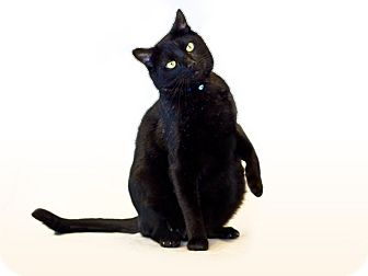Domestic Shorthair Cat for adoption in Long Beach, California - Shaq