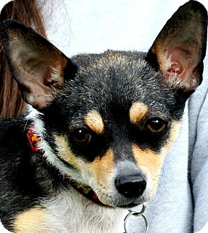 "Chihuahua Dog for adoption in Wakefield, Rhode Island - LALA(""TINY & SO ADORABLE!)"