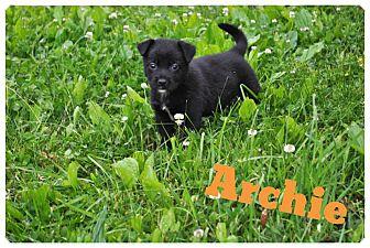 Labrador Retriever/German Shepherd Dog Mix Puppy for adoption in Manassas, Virginia - Archie