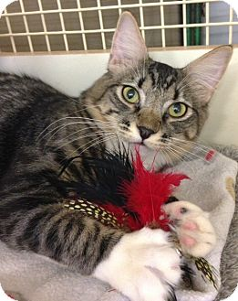 Norwegian Forest Cat Cat for adoption in El Dorado Hills, California - MARLEY