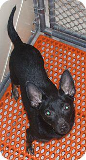 Chihuahua/Feist Mix Dog for adoption in Pinehurst, North Carolina - Shadow