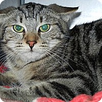 Domestic Shorthair/Domestic Shorthair Mix Cat for adoption in Miami, Florida - Mufasa