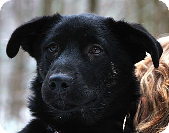 Shepherd (Unknown Type)/Labrador Retriever Mix Puppy for adoption in East Hartland, Connecticut - Hayden