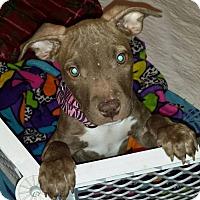 Adopt A Pet :: Cocoa Puff - Southampton, PA