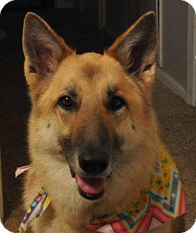 German Shepherd Dog Dog for adoption in Houston, Texas - Champagne