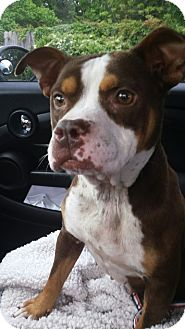 Pit Bull Terrier Dog for adoption in Mary Esther, Florida - Snickers