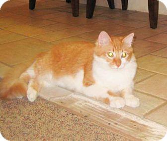 Domestic Mediumhair Cat for adoption in Parkville, Missouri - Wrangler