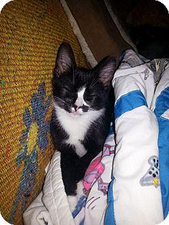 Domestic Shorthair Kitten for adoption in Smithfield, North Carolina - Maco