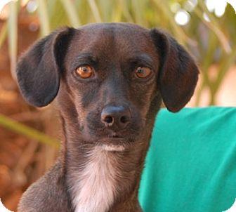 Dachshund/Chihuahua Mix Dog for adoption in Las Vegas, Nevada - Celina