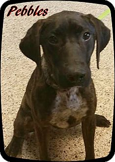 Plott Hound Mix Dog for adoption in Ahoskie, North Carolina - Pebbles