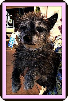 Border Terrier/Schnauzer (Miniature) Mix Dog for adoption in Rancho Cucamonga, California - Haley