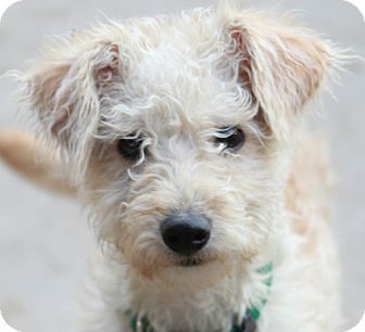 Poodle (Miniature)/Schnauzer (Miniature) Mix Dog for adoption in Norwalk, Connecticut - Timmons