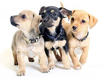 Terrier (Unknown Type, Medium) Mix Puppy for adoption in Truckee, California - Puppies!