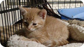 Domestic Shorthair Kitten for adoption in Benton, Pennsylvania - Cheese