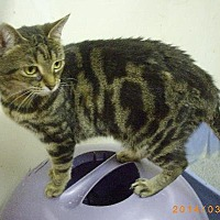 Domestic Shorthair Cat for adoption in Montreal, Quebec - Noisette