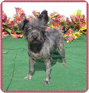 Schnauzer (Miniature) Mix Dog for adoption in Marietta, Georgia - PEPPER