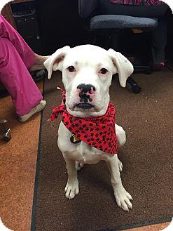 Boxer Mix Puppy for adoption in Sugar Grove, Illinois - Dominick