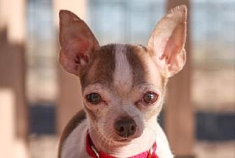 Chihuahua Mix Dog for adoption in Colorado Springs, Colorado - Ross