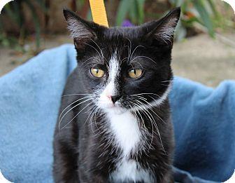Domestic Shorthair Kitten for adoption in Ocean Springs, Mississippi - Virginia