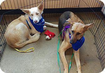 German Shepherd Dog Mix Dog for adoption in Apache Junction, Arizona - Duke