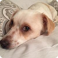 Adopt A Pet :: Cora - Minneapolis, MN