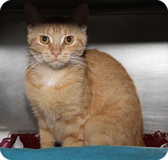 Domestic Shorthair Cat for adoption in Marietta, Ohio - Skittles (Spayed)