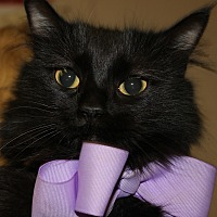 Domestic Mediumhair Cat for adoption in Clayton, New Jersey - SHIMMER