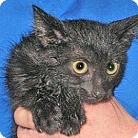 Domestic Shorthair Kitten for adoption in Wildomar, California - 357687