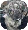 Plott Hound/German Shepherd Dog Mix Puppy for adoption in Bunnell, Florida - Chipper