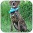 Photo 2 - Plott Hound Mix Dog for adoption in Portsmouth, Rhode Island - Norman