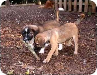 Australian Shepherd Mix Puppy for adoption in Savannah, Georgia - Reese