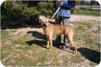 Great Dane/Labrador Retriever Mix Dog for adoption in California City, California - Ruby