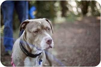 American Pit Bull Terrier Dog for adoption in Portland, Oregon - Fanny